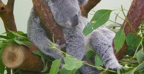 Australien-Reisetipps_Featherdale-Wildlife-Park_die-staendig-schlafenden-Koalas