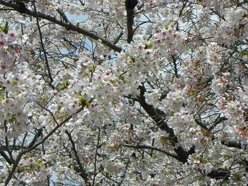 Für mich ist es sonnenklar: Japan während der Kirschblüten-Saison muss man gesehen haben. Mit diesem Artikel möchte ich auch dich davon überzeugen!