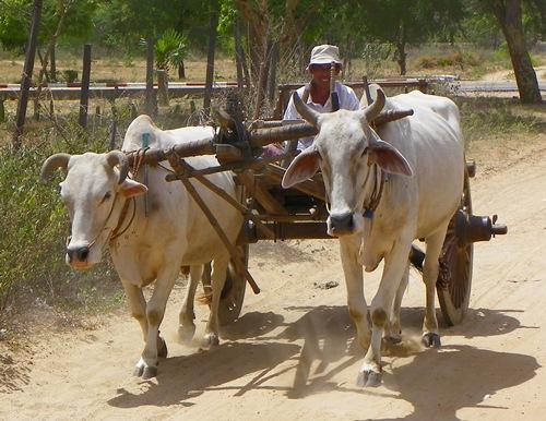 bagan-ox-cart 100 1565