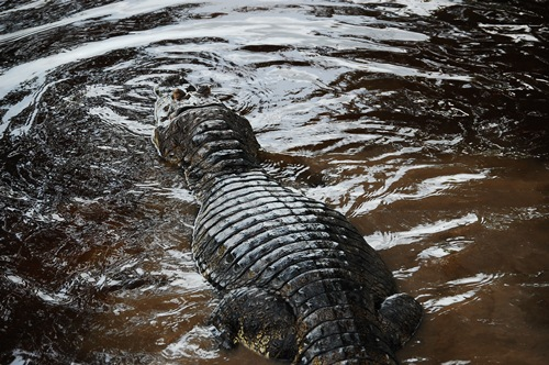 bolivias amazon tour nick alligator2