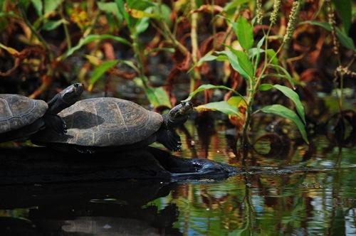 bolivias amazon tour nick turtle1
