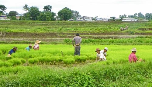 Myanmar Sehenswürdigkeiten - Hsipaw Reisfelder